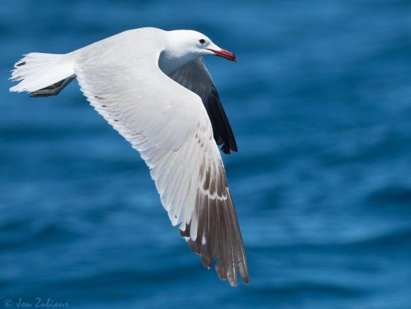 Audouin's Gull  - Jon Zubiaur