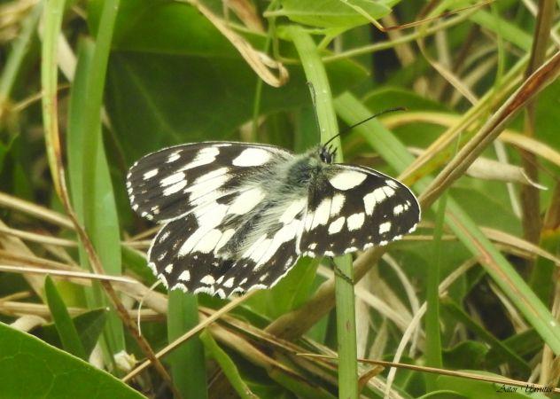 Marbled White  - Aitor Urrutia