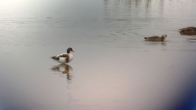 Common Shelduck  - Urdaibai Bird Center
