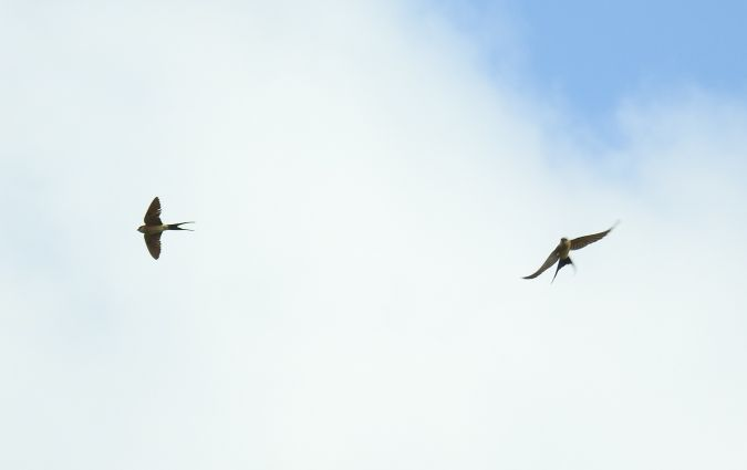 Red-rumped Swallow  - Gorka Artiguez