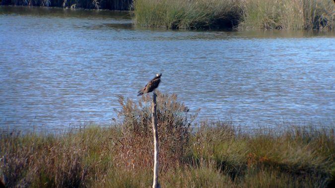 Osprey  - Urdaibai Bird Center