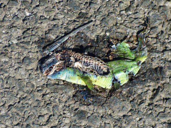 Western Green Lizard  - Serafín Alarcón