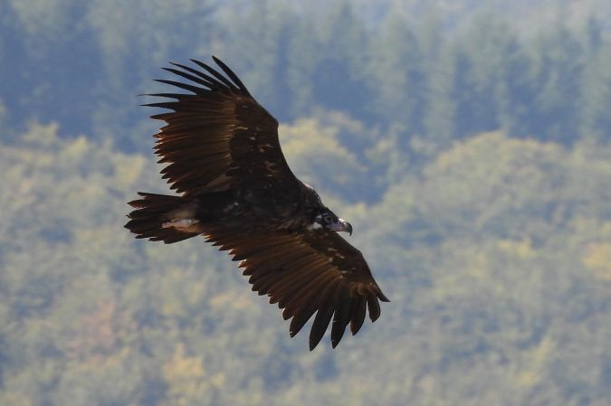 Eurasian Black Vulture  - Juan Manuel Pérez de Ana