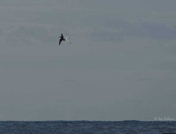 Long-tailed Skua  - Jon Zubiaur