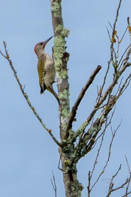 Iberian Woodpecker  - Dominique Marques