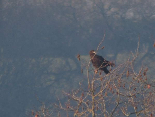Greater Spotted Eagle  - Benoît Duchenne