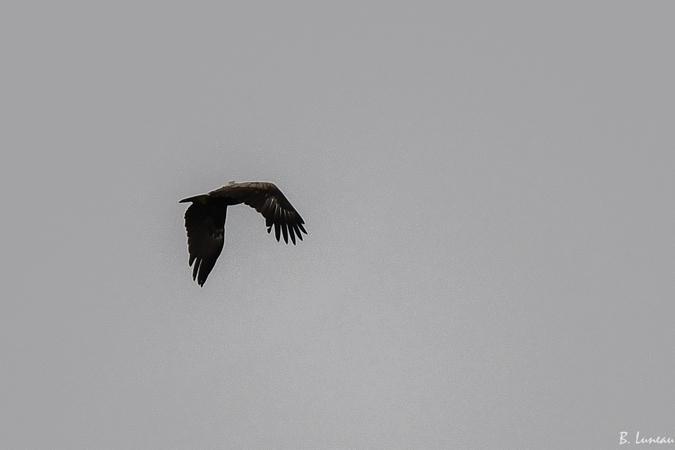 Aigle criard  - Benjamin Luneau