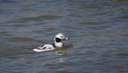 Long-tailed Duck  - Marco de Silvi