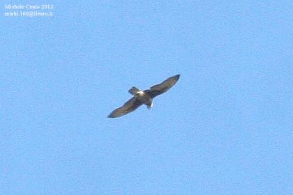 Lanner Falcon  - Michele Cento