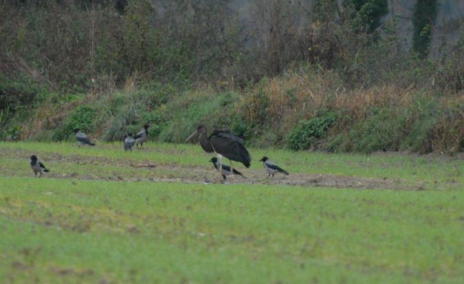 Black Stork  - Fabrizio Boncompagni