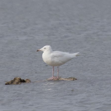 Audouin's Gull  - Marco Bernardini