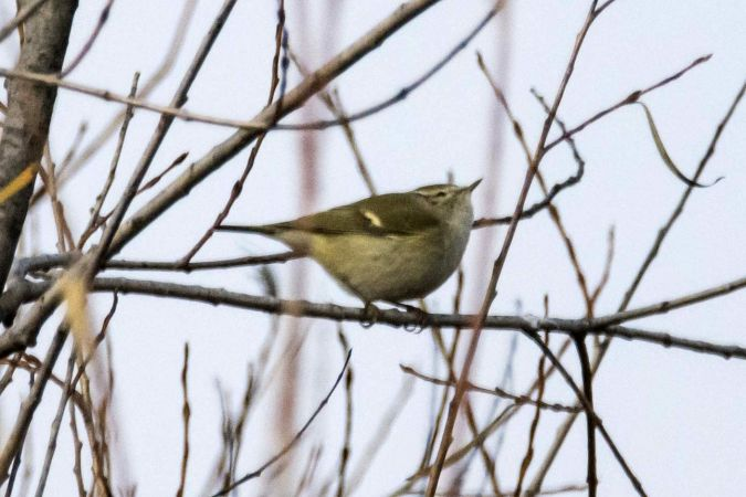 Hume's Leaf Warbler  - Giovanni Cellini