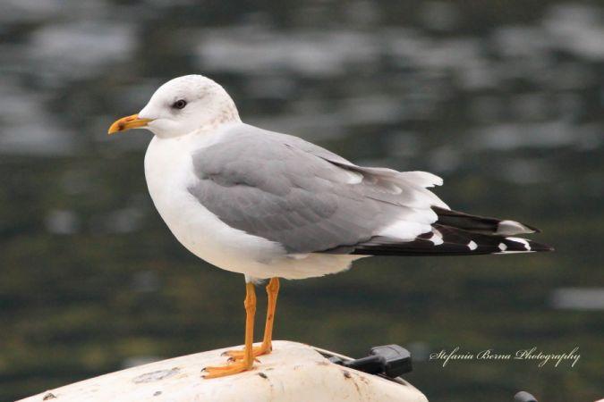 Common Gull  - Stefania Berna