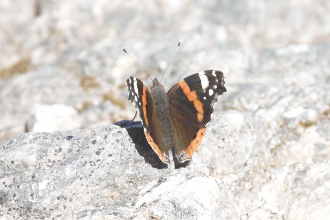 Red Admiral  - Michele Cento