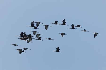 Glossy Ibis  - Gino Santini