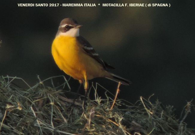 Cutrettola di Spagna (ssp.)  - Michele Lamberti