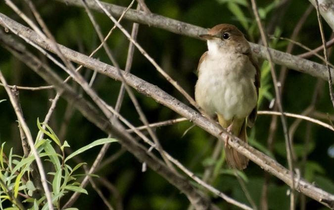 Common Nightingale  - Giovanni Fontana