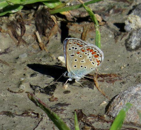 Common Blue  - Luca Giussani