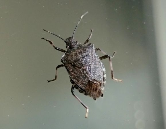 Brown Marmorated Stink Bug  - Giuseppe Speranza