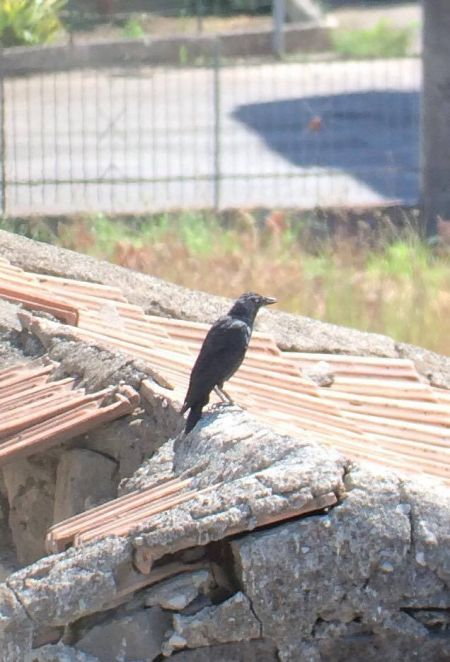 Western Jackdaw  - Schettino Sabrina