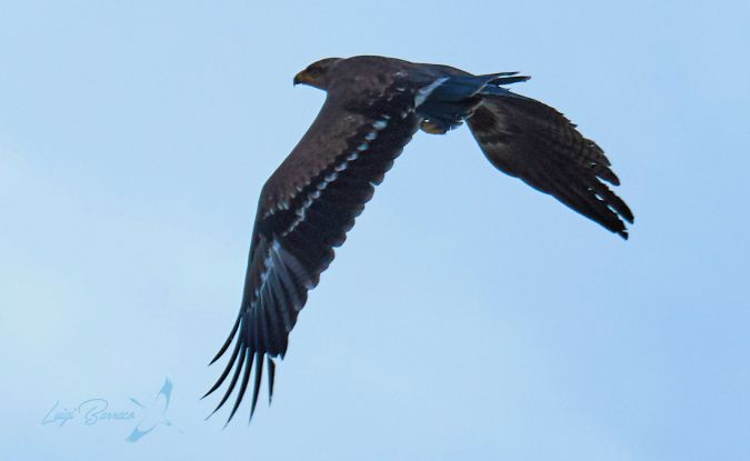 Lesser Spotted Eagle  - Luigi Barraco