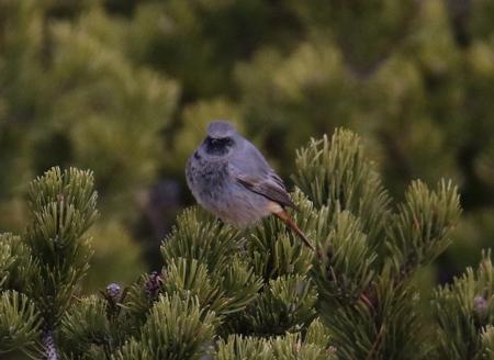Codirosso spazzacamino (ssp. ochruros)  - Horand Maier
