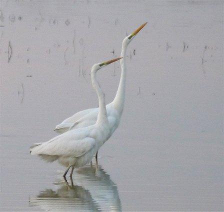 Airone bianco maggiore  - Giampaolo Bonora
