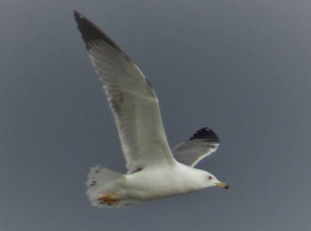 Caspian Gull  - Eugenio Muscianese