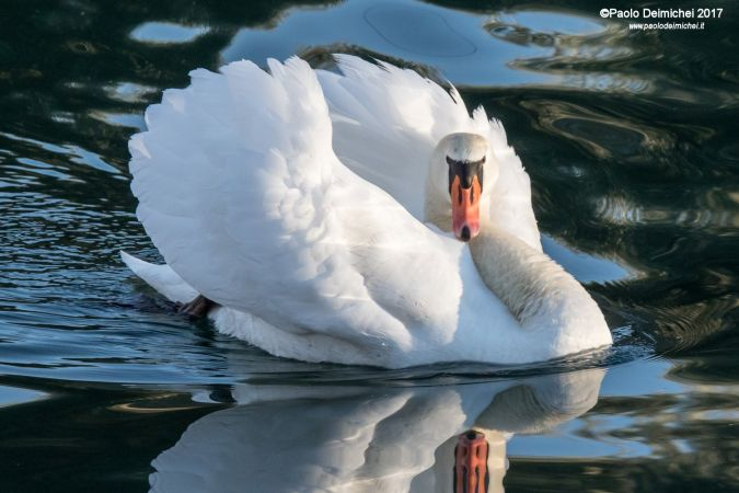 Mute Swan  - Paolo Deimichei
