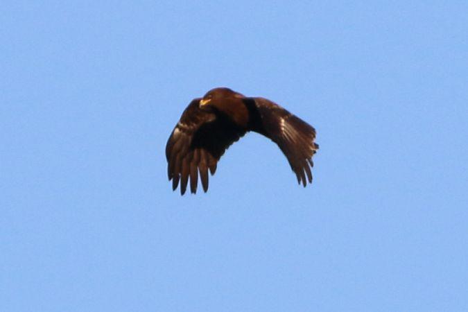 Lesser Spotted Eagle  - Angelo Nardo