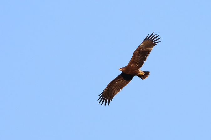 Lesser Spotted Eagle  - Angelo Nardo