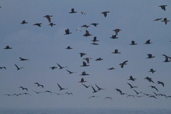 Great Cormorant  - Luciano Catozzi