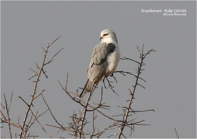 Black-winged Kite  - Luca Boscain