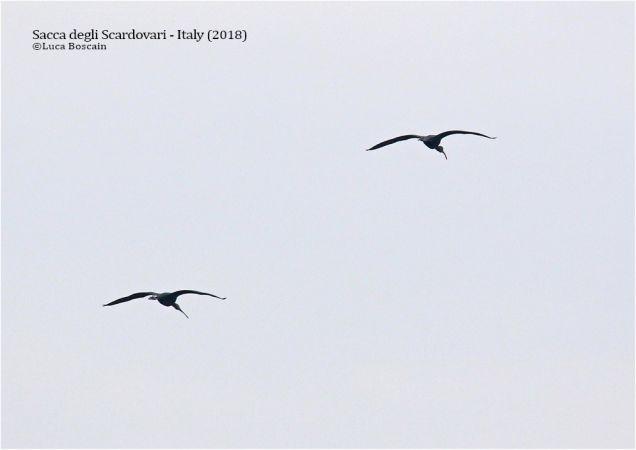 Glossy Ibis  - Luca Boscain