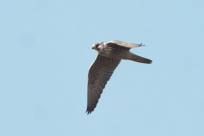 Peregrine Falcon (F.p.calidus)  - Michele Cento