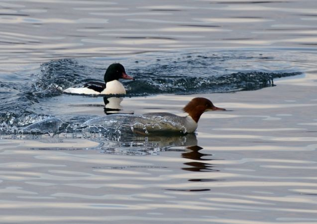 Common Merganser  - Luigi Gennari