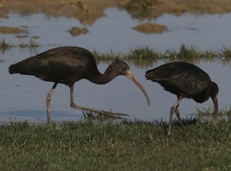 Glossy Ibis  - Horand Maier