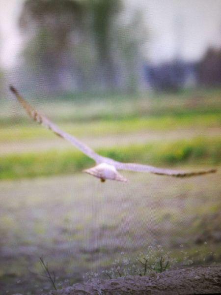 Pallid Harrier  - Laura Baldasarre