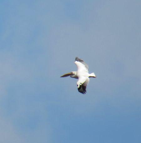 Great White Pelican  - Luca Giussani