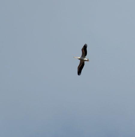 Great White Pelican  - Lorenzo Colombo