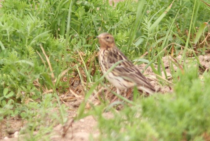 Red-throated Pipit  - Steven Hueting