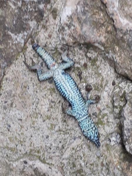 Common Wall Lizard  - Luca Passalacqua