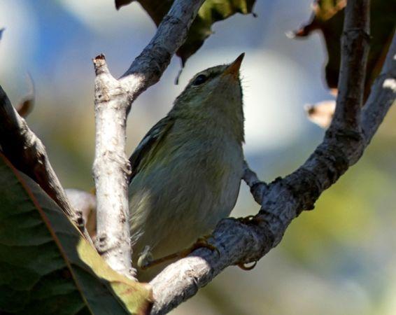Yellow-browed Warbler  - Simone Todisco