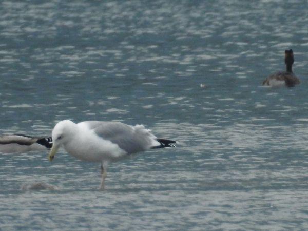 Caspian Gull  - Massimino Luigi Brigo