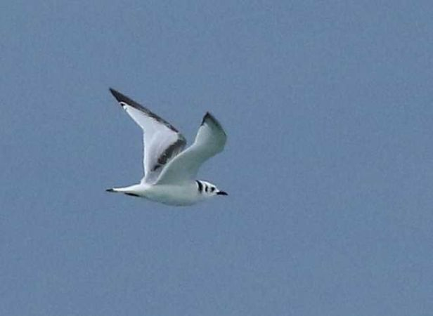 Black-legged Kittiwake  - Luca Boscain