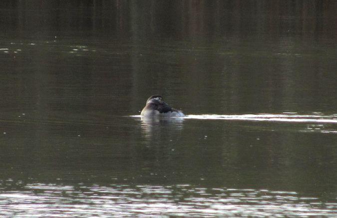 Long-tailed Duck  - Pietro Melandri