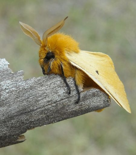 Orange-tip  - Elvire Laurens