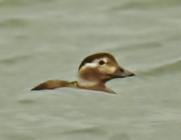 Long-tailed Duck  - Francesco de Luca