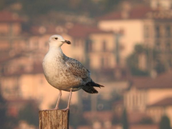 Caspian Gull  - Paolo Faifer