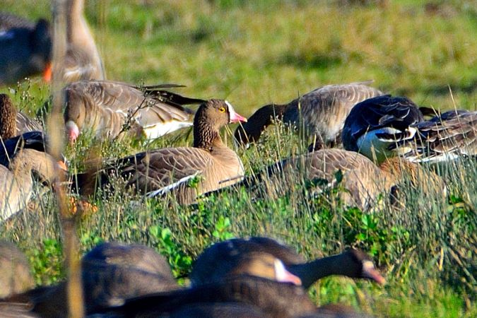 Lesser White-fronted Goose  - Alessandro Pavesi